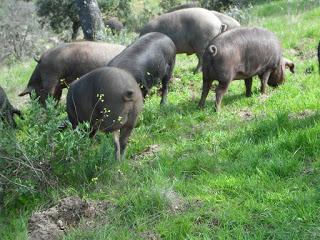 Cena cata con cerdo Coloryn y Anayón en La Parrilla Albarracín y +Albarracín (jueves, 26)
