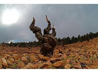 Cata de vinos jóvenes de Cariñena (jueves, 25)