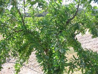 "Curso ""Innovaciones en el material vegetal del almendro"" (martes, 7)"