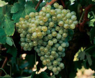Degustación de vinos de godello (viernes, 19)