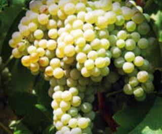 Degustación de blancos de macabeo, incluido ESTECILLO (sábado, 24)