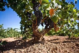Degustación de vinos de cencibel (jueves, 24)