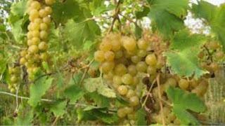 Degustación de vinos de malvasía (sábado, 19)