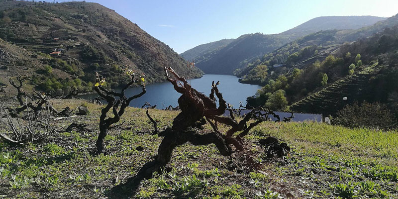 Degustación de vinos de variedades en peligro de extinción (viernes, 7)