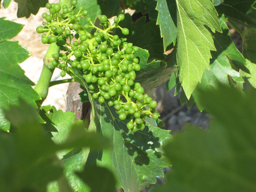 Estado de la uva a mediados de julio. FOTO: Cortesía DOP Calatayud