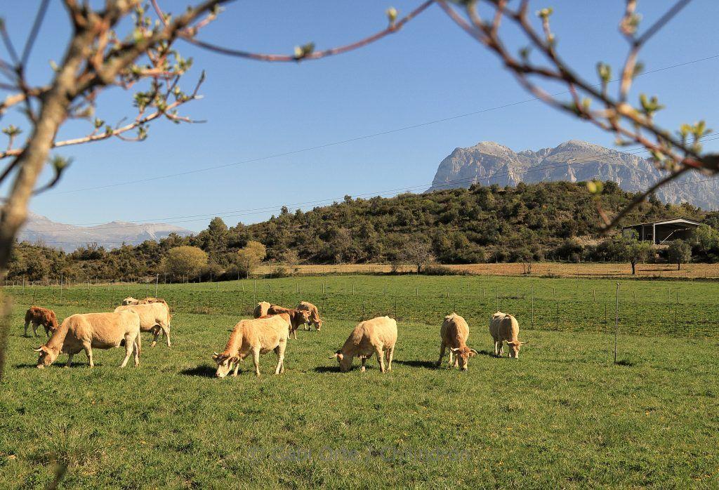 Vacas Pirineo GOC