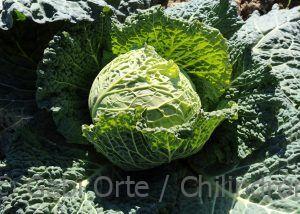 COL-HOJA verduras-GO