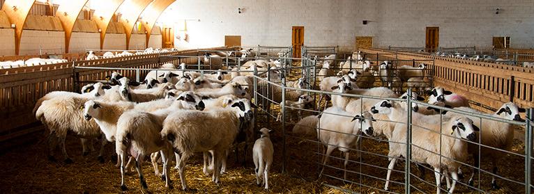 corderos en establo UPA