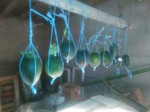 melones Torres de Berrellén colgados