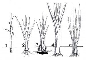 Tipos de puerros
